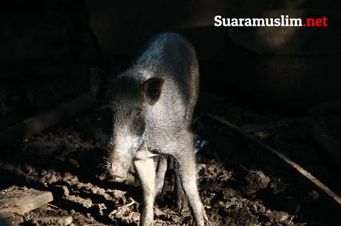 Ini Fakta Ilmiah di Balik Pengharaman Babi