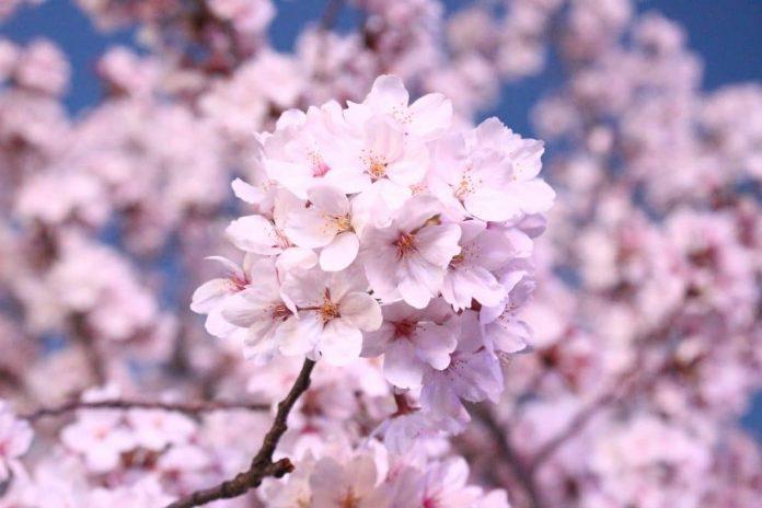 Menikmati Keindahan Pohon Sakura Indonesia