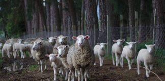 Penyembelihan Hewan Kurban Bukan Acara Seremonial Belaka (2)