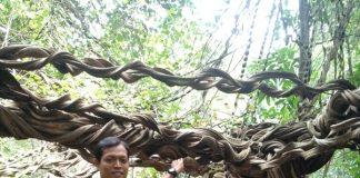 Wisata Pohon Raksasa: Akar Langit Trinil