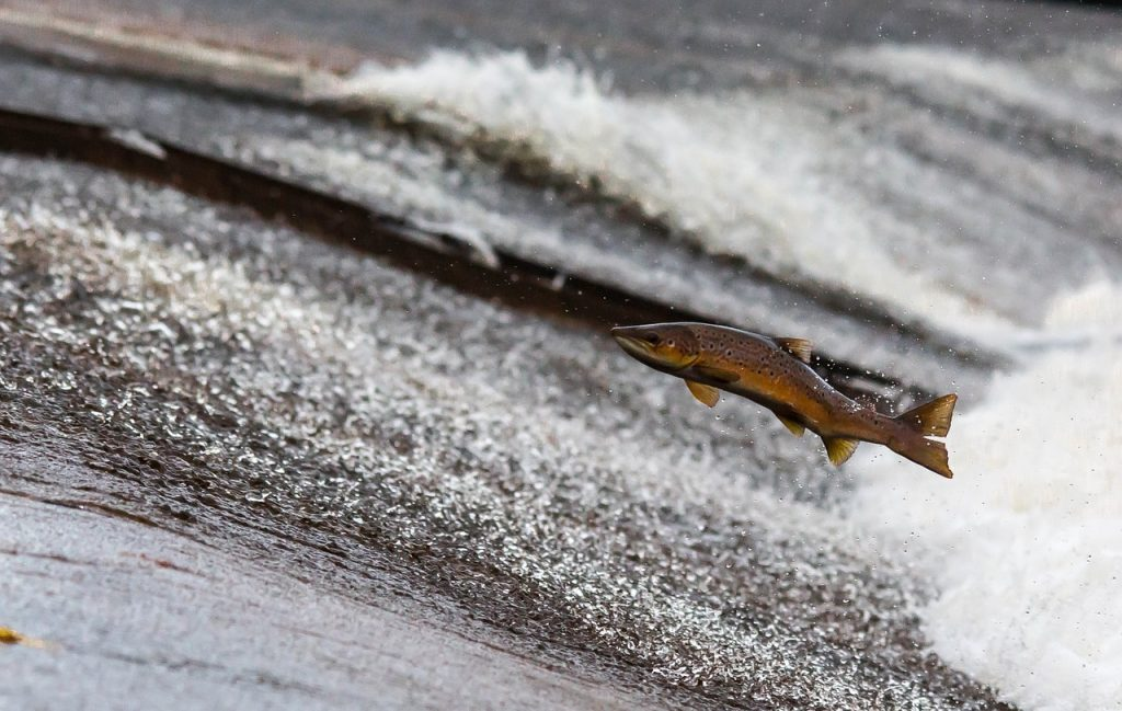 Belajar Cinta Kasih dari Migrasi Salmon