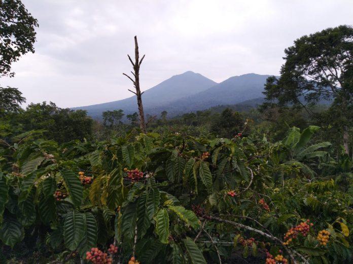 Tanggamus Lampung, Surganya Kopi Indonesia