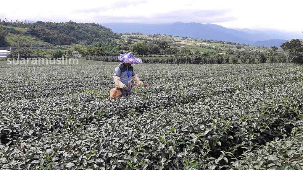 Penulis mencoba menjadi pemetik teh di Chulu Leisure Agricultural
